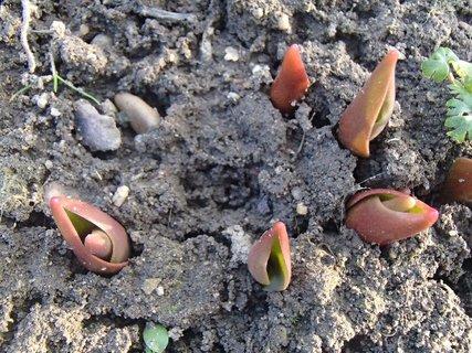 FOTKA - tulipány vychádzajú
