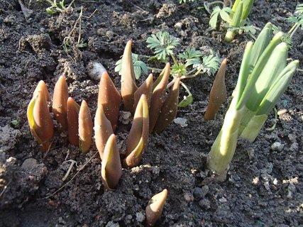 FOTKA - tulipány a narcisy vychádzajú