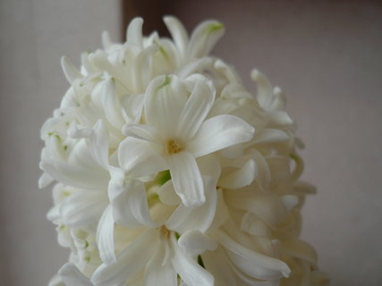 FOTKA - hyacint,detail