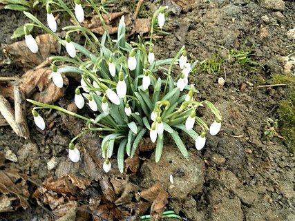 FOTKA - Sněženky - vděčný posel jara