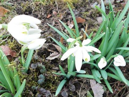 FOTKA - sněženky z mé zahrady..