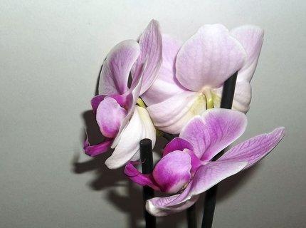 FOTKA - Orchidea mi  kvete . . .