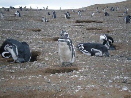 FOTKA - Patagonie, žije tu 130 000 tučňáků Magallanských
