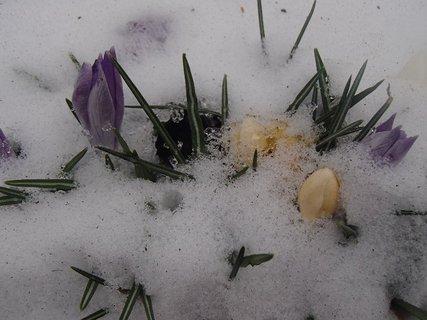 FOTKA - krokusy - skoro celé pod snehom