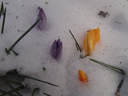 FOTKA - krokusy - sú skoro celé pod snehom