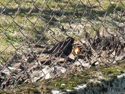FOTKA - dnes venku,kos za plotem ozobává jablko