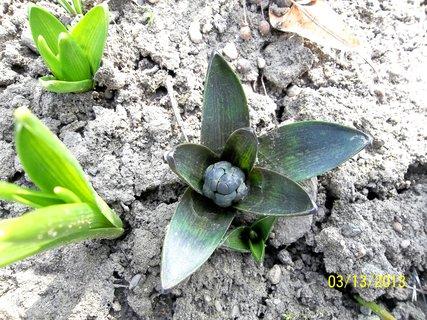 FOTKA - hyacint,loni byl  v květináči