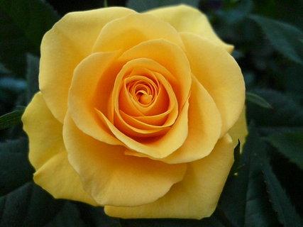 FOTKA - Ruže