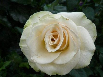 FOTKA - ruže 2