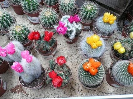 FOTKA - plno kaktusu