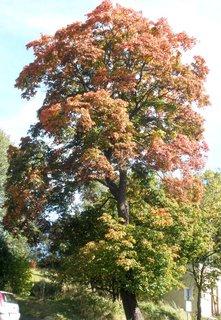 FOTKA - *Podzimní strom