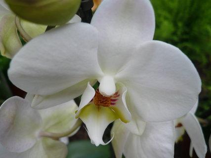 FOTKA - orchidej-,