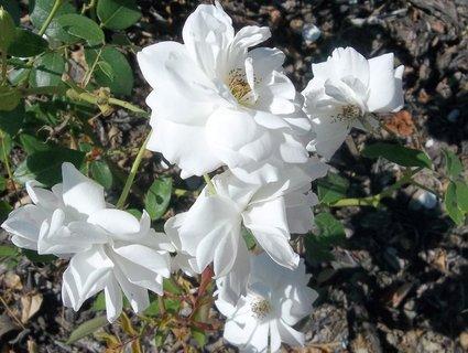 FOTKA - Růže bílé zámecké. .