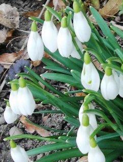 FOTKA - sněženky z mé zahrady . . .