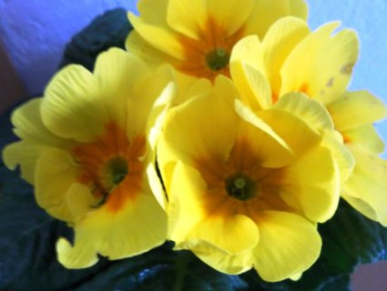 FOTKA - prvosenka - v květináči .