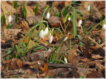 FOTKA - Sněženky  na listí