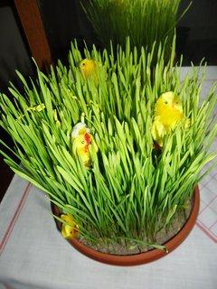 FOTKA - pšenice s kuřátky