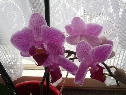 FOTKA - orchidej u mamky,koupila jsem ji  a sobe,a ja už jí nemám