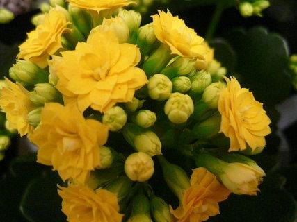 FOTKA - kalanchoe žlutá