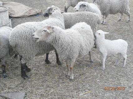 FOTKA - houfem ovečky