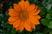 gazánie oranžová