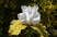 iris dvojbarevný