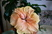 ibišek plnokvětý oranž