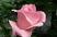 růže 28