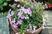 fialová myrta