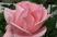 růže 29