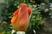 růže 31