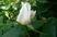 růže 32