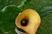 žlutá kala