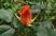 růže 34