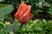 růže 35