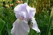 iris světlý