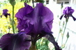 iris fialový