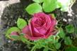 růže 22