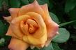 růže 24