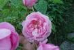 moje zahrada - stolistá růže