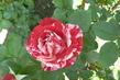 růže 26