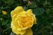 růže 27