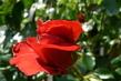 růže 30