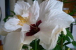 detail květu ibišku
