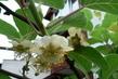 kvetoucí kiwi