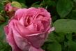 pravá stolistá růže