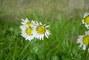 Sedmikrásky,,,mám ráda jaro.