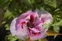 kapky rosy na květu