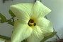Květ Ibišku syrského