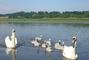 ..labutě na jezeře